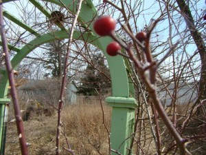 rose hips and arch closeup