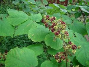 arailia-racemosa-berries