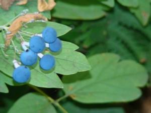 blue-cohosh-berries-2014
